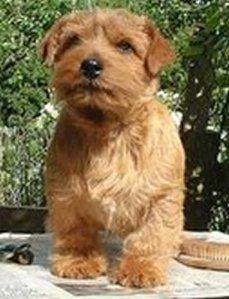 This is a Red Dog, but not The Red Dog (and this is not my picture of a Norfolk Terrier)