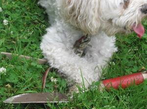 Cricket has her paws on the red handled trowel
