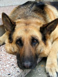 A German Shepherd who looks a lot like corner-Rocky (not my picture)