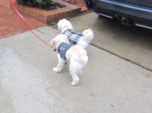 Out visiting in her Thunder Shirt, in the rain. (Butterfly is modeling her plaid jacket and feeling beautiful.)