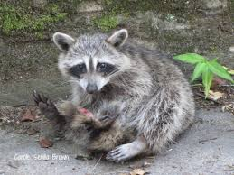 The raccoon looked something like this (not my picture).
