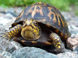 Grumpy turtle (not my picture)