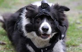 Does this dog look happy about wearing a camera? (not my picture)