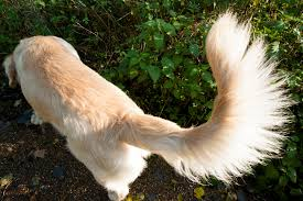 Look at that glorious tail! (not my picture, because Cricket would not let me take such a picture).