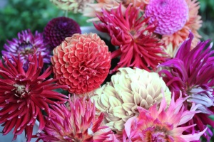 A bucket of imperfect Dahlias, saved, for the moment.