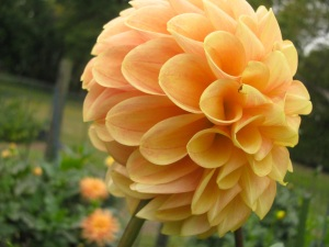 An imperfect Dahlia, on the chopping block.