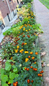 The Marigolds, before the frost.