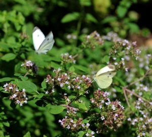 White butterflies.