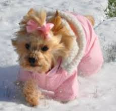 I found this picture of a dog in a snowsuit on line, because if I tried to do this to Cricket, I would be in the hospital.