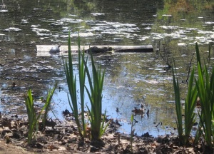 Can you see the turtle out there on the log?