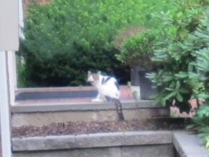 Feral cat.