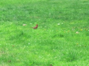A Cardinal, but maybe not the singer.