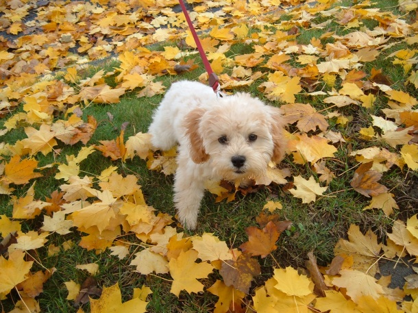 puppy in the leaves