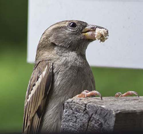 mommy sparrow