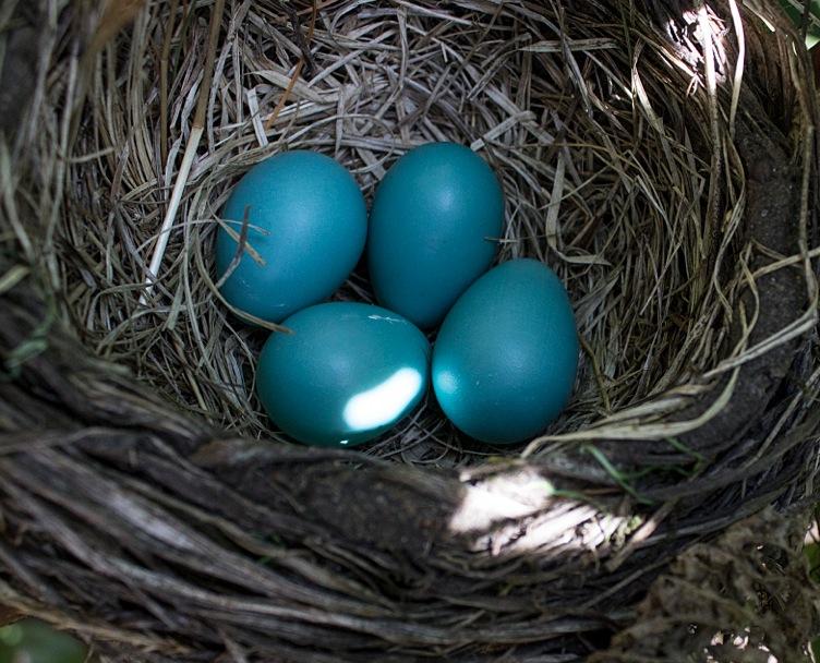 robin's eggs 4