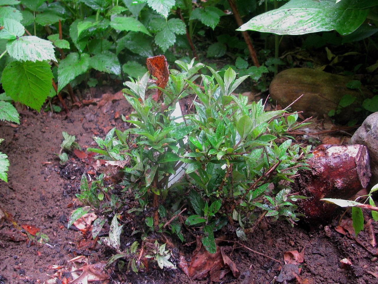 Butterfly's bush