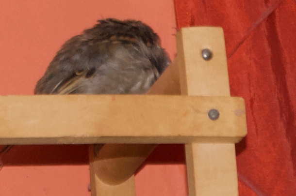 sparrow sleeping cropped
